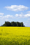 Background yellow oilseed rape agricultural field Stock Image