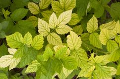 Background of yellow raspberry leaves Stock Photo