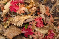 Background of yellow and red dry leaves Stock Image