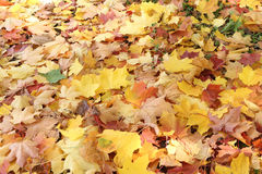 Background from yellow and the red fallen maple leaves Stock Photography