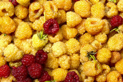 Background of yellow and red juicy raspberries Royalty Free Stock Photo