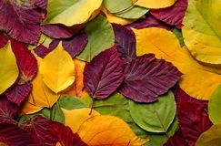 Background with yellow and red leaves. Red and yellow leaves illuminated by the aftshadowsernoon sun Stock Image