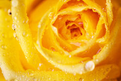 Background of yellow rose. Closeup of yellow rose creating textured background with raindrops on the petal tips royalty free stock image
