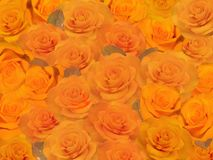 Background of yellow roses. Stock Photography