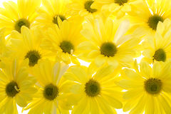 Background of Yellow Shasta Daisy Flowers Stock Photo