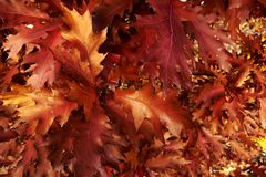 Red autumn maple leaves background stock photography