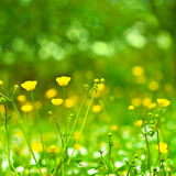 Background with yellow spring flowers. Field of spring flowers and perfect sunny day Royalty Free Stock Photography