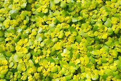 Background of yellow spring flowers primroses Royalty Free Stock Images