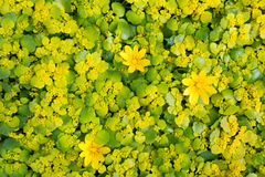 Background of yellow spring flowers primroses Stock Photo