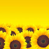 Background yellow sunflower. Royalty Free Stock Photo