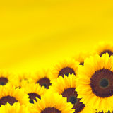 Background yellow sunflower. Royalty Free Stock Images