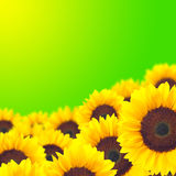 Background yellow sunflower. Stock Photos