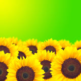 Background yellow sunflower. Stock Images