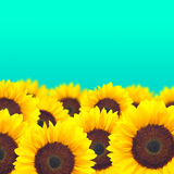 Background yellow sunflower. Stock Image