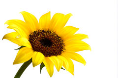 Background with yellow sunflower. Vector Stock Image