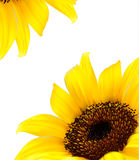 Background with yellow sunflower. Vector Stock Photography