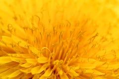 Background of Yellow Taraxacum officinalis Stock Photos