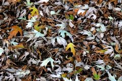 Background in yellow tones layers of leaf. Autumn leaf litter in the city, autumn outdoor nature background with colorful fallen l royalty free stock photo