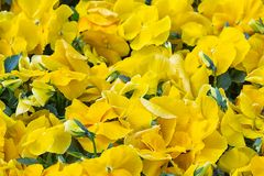 Background of yellow violets cultivation in a Dutch greenhouse Stock Photo