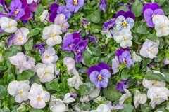 Background of yellow violets cultivation in a Dutch greenhouse Royalty Free Stock Images