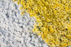 Background of yellow and white flower chrysanthemu Stock Images