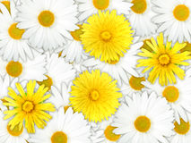 Background of yellow and white flowers Stock Photos