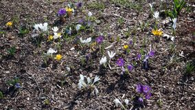 Background of yellow, white and purple first spring flowers royalty free stock photography