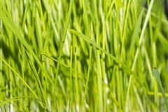 Background - young bright spring grass. Background - young bright green tender spring grass, wheat germs Stock Photos