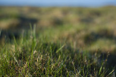 Background - a young, green grass covered with drops of dew. Royalty Free Stock Photography