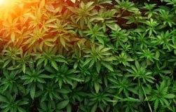 Background young shoots of marijuana in the rays of the setting sun. Growing organic hemp on the farm. Marijuana Wallpaper. Legal hemp cultivation stock image