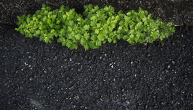 Background of young tree grow on the road Royalty Free Stock Image