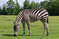 The background with the zebra Stock Image