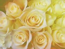 Backgroundd Rosen des weichen Lichtes Stockbild