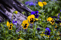 BackgroundFlowers pansies bright yellow  and blue colors Stock Photos