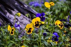 BackgroundFlowers pansies ljusa guling- och blåttfärger Arkivfoton