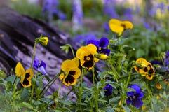 BackgroundFlowers pansies ljusa guling- och blåttfärger Royaltyfri Bild