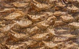 Backgroundon a textura da base da casca da palma de data imagem de stock royalty free
