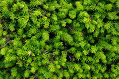 Backgrounds. Brightly green prickly branches of a fur-tree or pine stock images