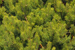 Backgrounds. Brightly green prickly branches of a fur-tree or pine royalty free stock image