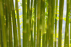 Backgrounds with bamboo foliage Royalty Free Stock Images