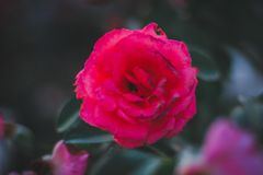 Backgrounds Beautiful red roses in Thailand beautiful green leaves looking comfortable. Red green tee royalty free stock photo