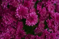 Purple chrysanthemums in the backgrounds. A bouquet of chrysanthemums. Backgrounds of a bouquet of chrysanthemums. Rosy beautiful flowers. Purple chrysanthemums royalty free stock photos
