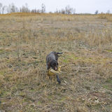 backgrounds dog hunting labrador white yellow Στοκ εικόνα με δικαίωμα ελεύθερης χρήσης