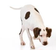 backgrounds dog hunting labrador white yellow Στοκ Φωτογραφία