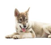 backgrounds dog hunting labrador white yellow Στοκ Φωτογραφίες