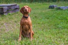 backgrounds dog hunting labrador white yellow Στοκ φωτογραφία με δικαίωμα ελεύθερης χρήσης