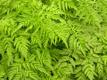 Backgrounds-fern Royalty Free Stock Photo