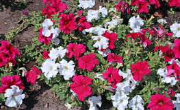 Backgrounds of flowers red and white petunias Royalty Free Stock Photography