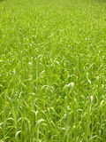 Backgrounds-grass Royalty Free Stock Photography