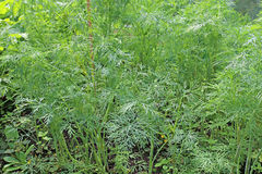 Backgrounds of green leaves of fennel Royalty Free Stock Photos